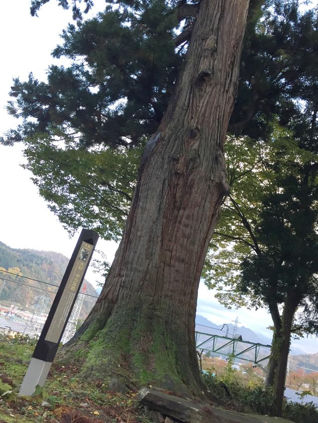 越後湯沢諏訪神社の大杉